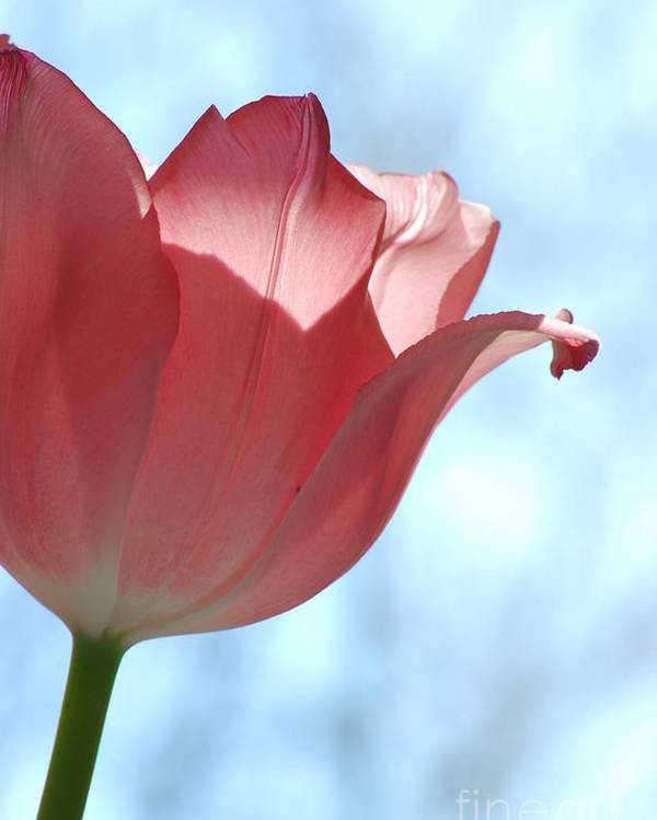 Tulip Poster featuring the photograph Blush by Michelle Hastings