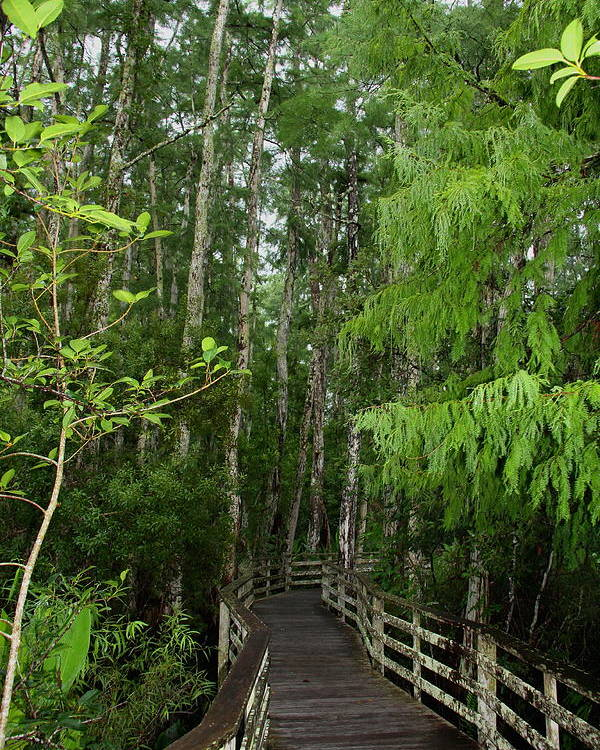Bald Cypress Tree Poster featuring the photograph Boardwalk Through The Bald Cypress Strand by Barbara Bowen