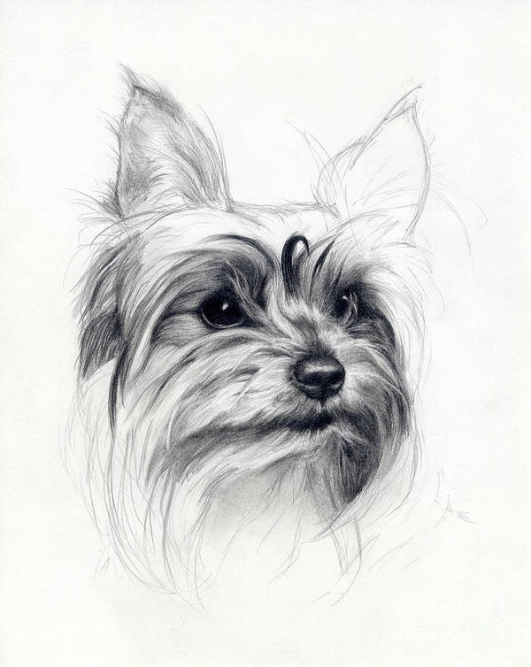 Dog Poster featuring the drawing Bobby by Tim Thorpe