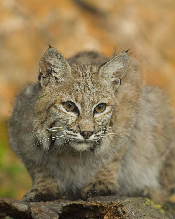 Alertness Poster featuring the photograph Bobcat Felis Rufus by Grambo Photography and Design Inc.