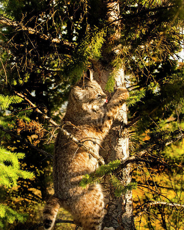 Bobcat Poster featuring the photograph Bobcat up a tree by Roy Nierdieck
