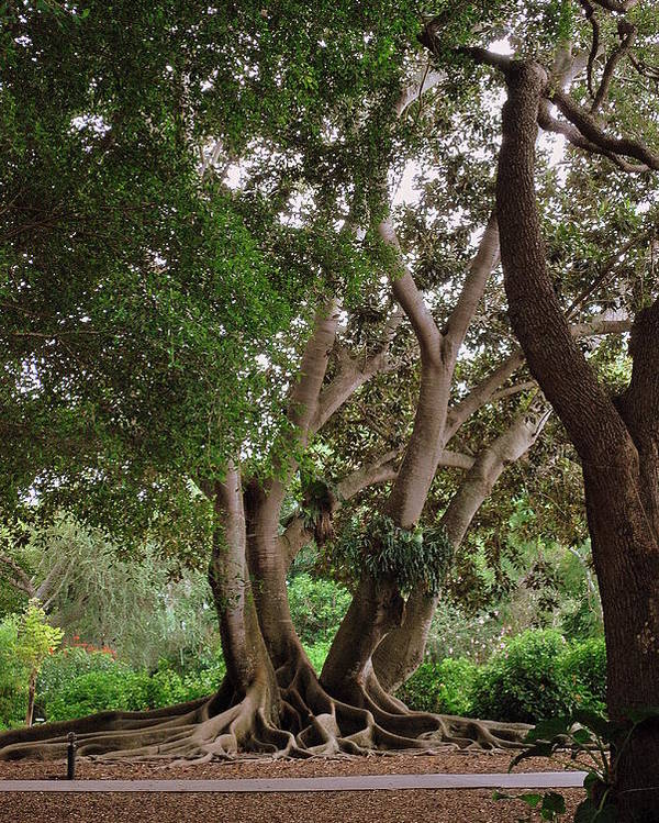 Banyon Trees Poster featuring the photograph Bold Branches by Amanda Vouglas