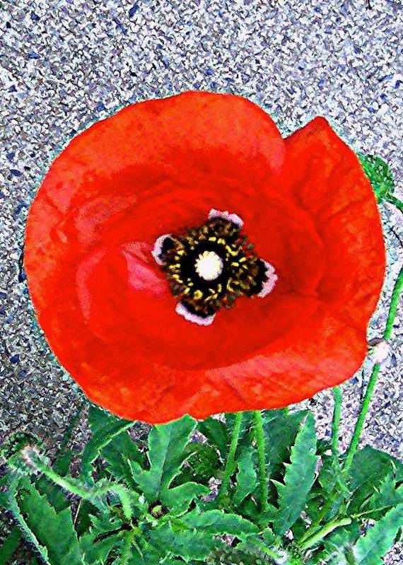 Poppy Poster featuring the photograph Bold Poppy by Caroline Urbania Naeem