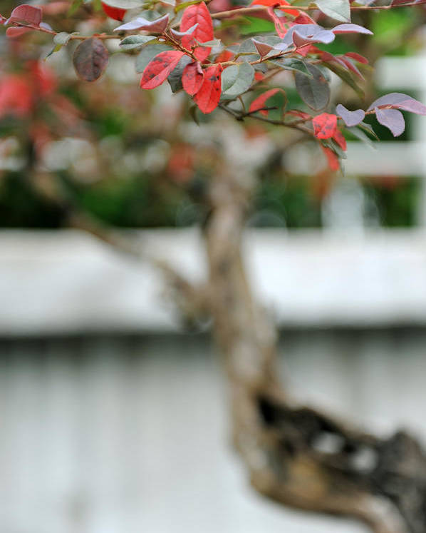 Red Poster featuring the photograph Bonsai by Jessica Rose