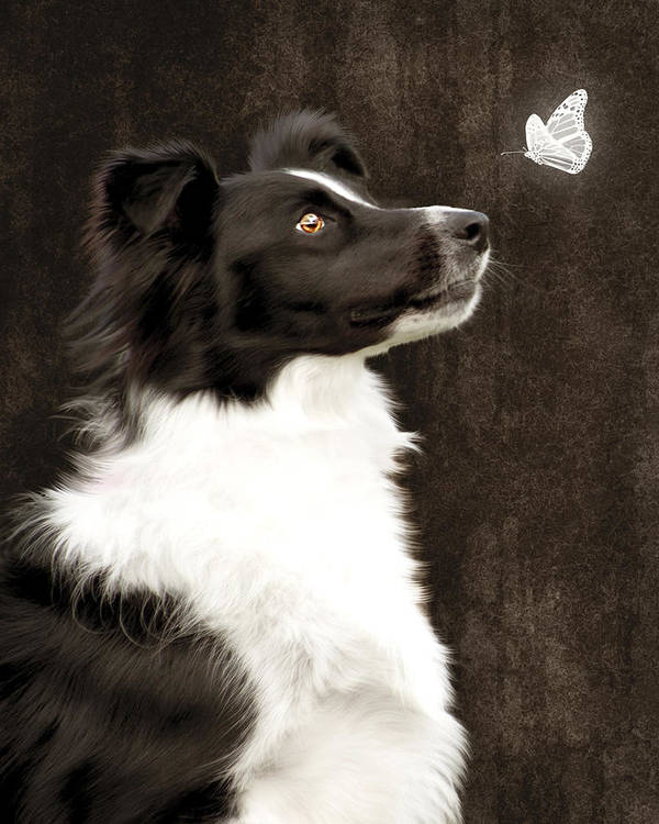 Dog Poster featuring the photograph Border Collie Dog Watching Butterfly by Ethiriel Photography