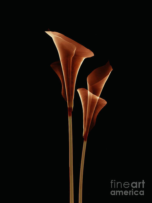 Art Poster featuring the digital art Botanical Study 5 by Brian Drake - Printscapes