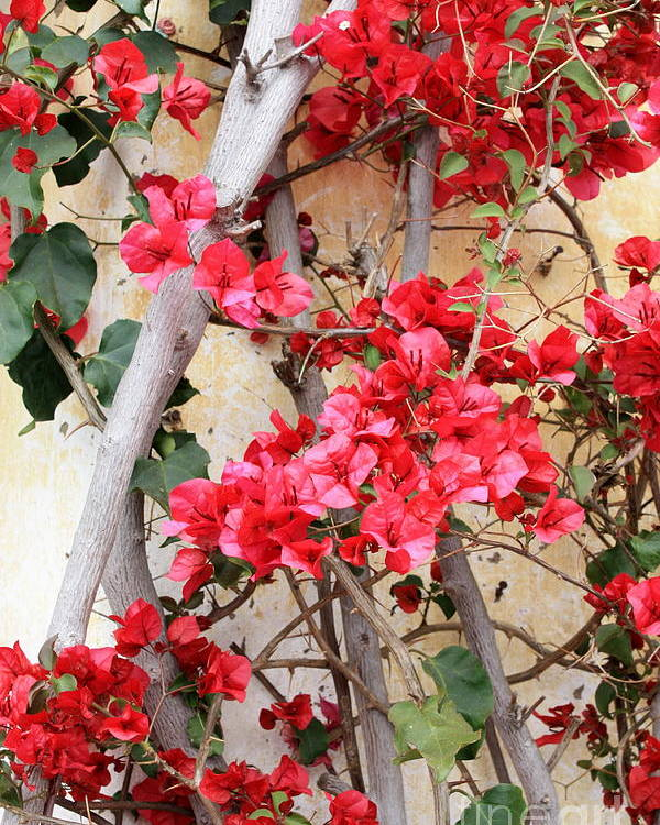 Bougainvilla Poster featuring the photograph Bougainvillea by Carol Groenen
