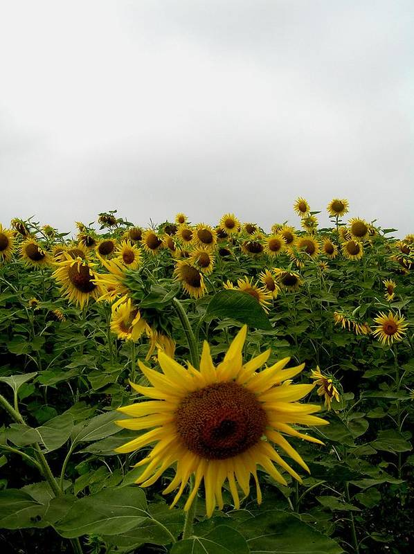 Sunflower Poster featuring the photograph Bowing To The Crowd by Jeanette Oberholtzer