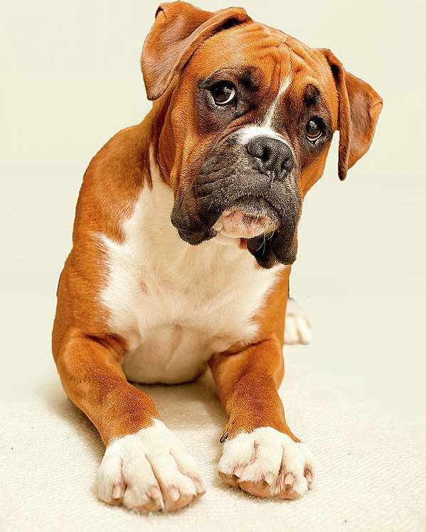 Vertical Poster featuring the photograph Boxer Dog On Ivory Backdrop by Danny Beattie Photography