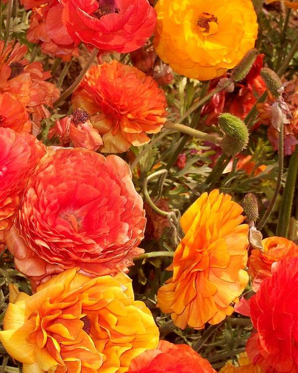 Ranunculus Poster featuring the photograph Bright And Sunny by Jean Booth