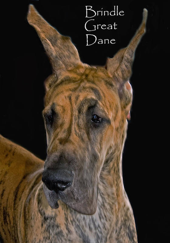 Brindle Great Dane Poster featuring the photograph Brindle Great Dane by Larry Linton