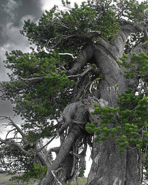Bristlecone Pine Trees Poster featuring the photograph Bristlecone Pine Tree On The Rim Of Crater Lake - Oregon by Christine Till