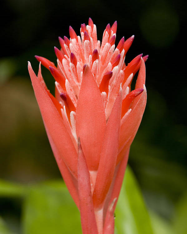 Closeups Poster featuring the photograph Bromeliad Flower, An Epiphyte From C & by Tim Laman