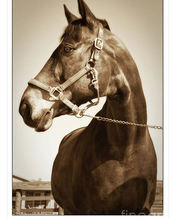 Horse Poster featuring the photograph Brown Horse by Stephanie Hayes
