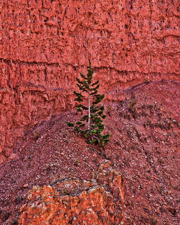 Bryce Canyon Poster featuring the photograph Bryce Canyon Pine Tree by Catherine Pearson