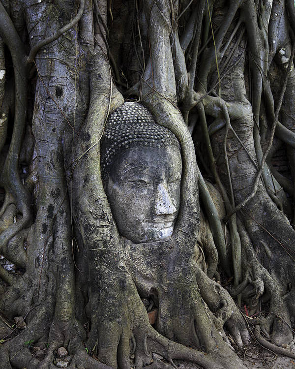 Ayutthaya Poster featuring the photograph Buddha Head In Tree by Adrian Evans