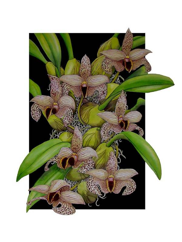 Orchids Poster featuring the painting Bulbophyllum Sumatranum by Darren James Sturrock