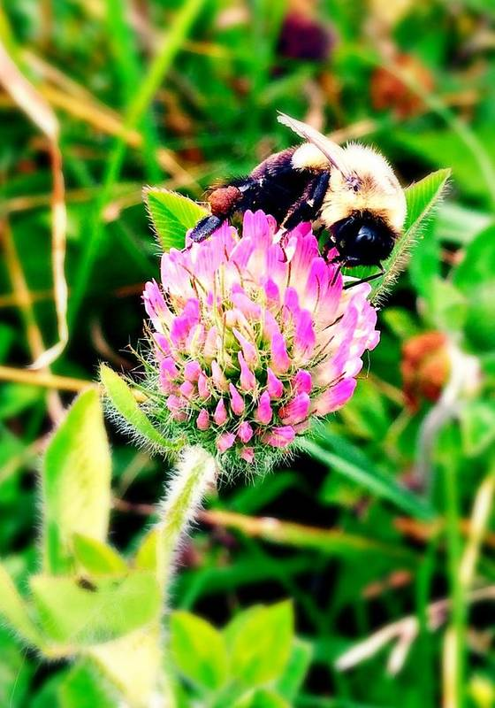 Flower Poster featuring the photograph Bumble Bee by Kaitie Lopes