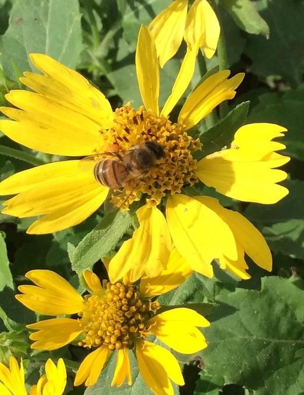 Bee Poster featuring the photograph Busy Bee by Nancy Cavallin