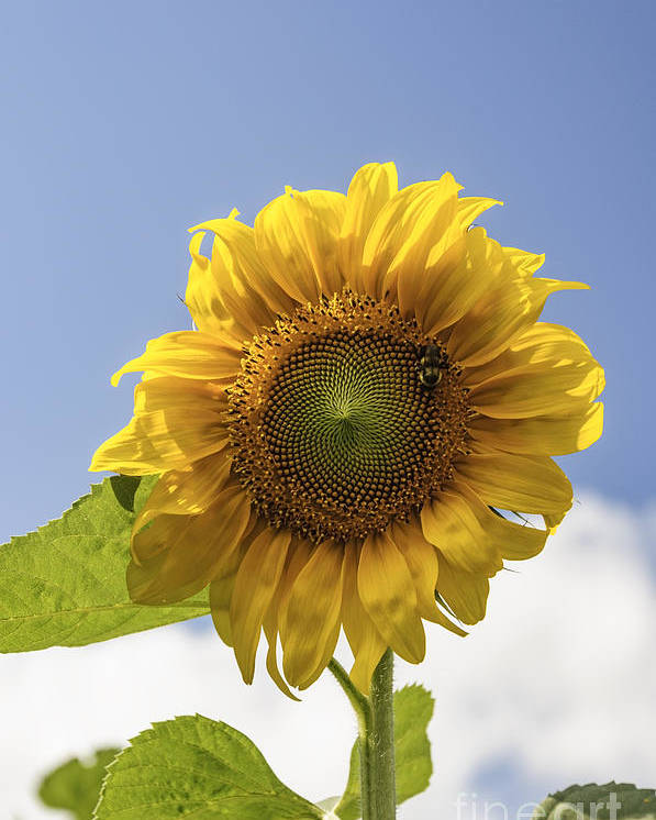 (calm Or Still) Poster featuring the photograph Busy Bee On A Sunflower by Debra Fedchin