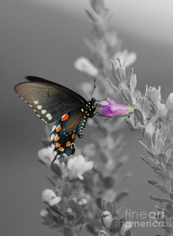Butterfly Poster featuring the photograph Butterfly And Flower by Jim Wright
