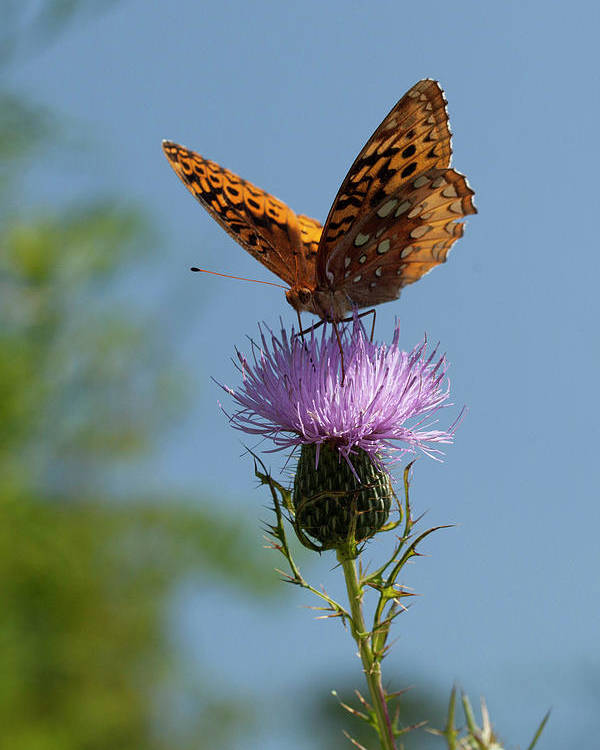 Butterfly Poster featuring the photograph Butterfly And Thistle 1 by Art Ferrier