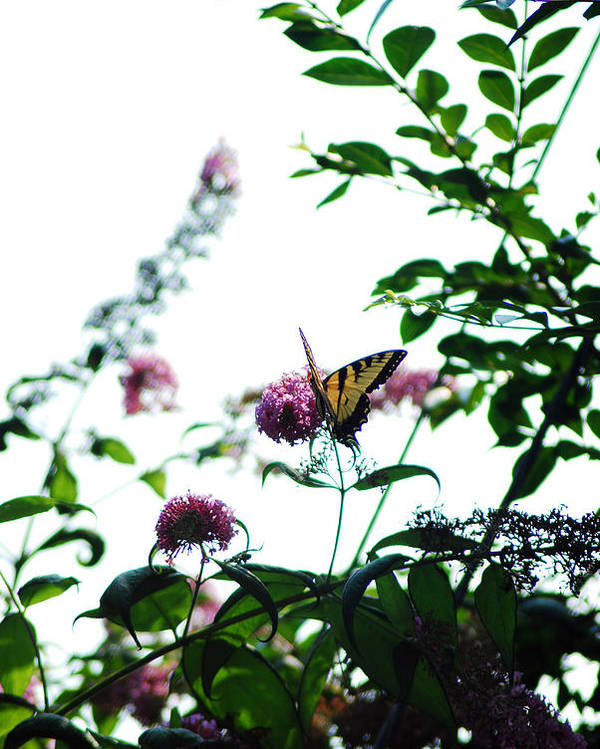 Flowers Poster featuring the photograph Butterfly Garden by Coralyn Klubnick Simone