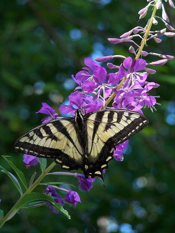 Butterfly Poster featuring the photograph Butterfly by Gene Ritchhart