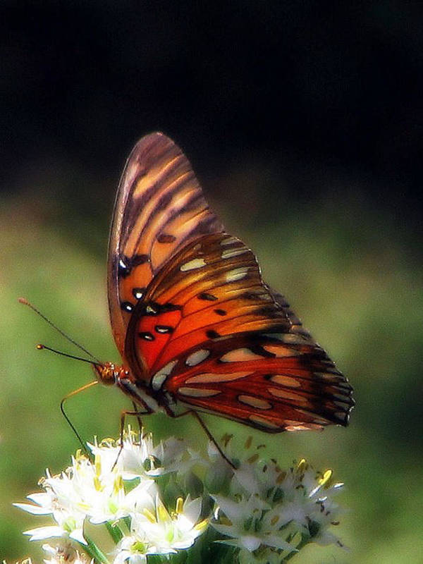 Gulf Poster featuring the photograph Butterfly In Orton by Dottie Dees