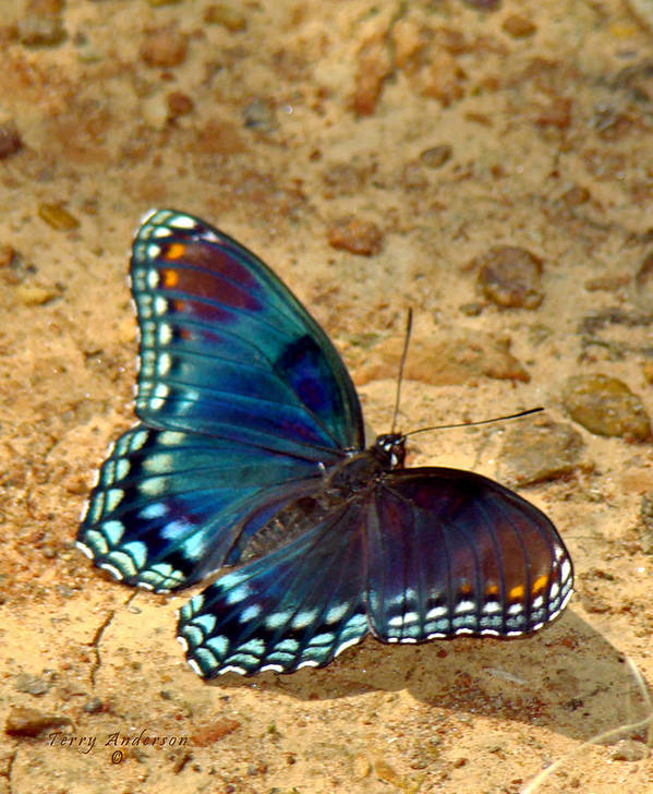 Red Spotted Purple Poster featuring the photograph Butterfly Landing by Terry Anderson