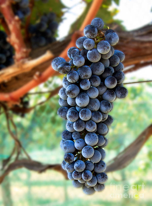 Red Wine Poster featuring the photograph Cabernet Sauvignon by Robert Bales