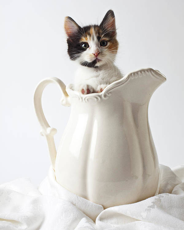 Calico Kitten White Pitcher Poster featuring the photograph Calico Kitten In White Pitcher by Garry Gay
