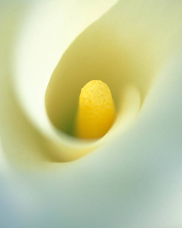 Calla Lily Poster featuring the photograph Calla by Kathy Yates