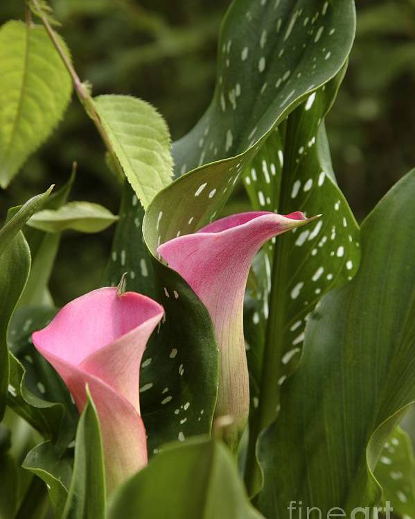 New England Poster featuring the photograph Calla Lilies by Erin Paul Donovan