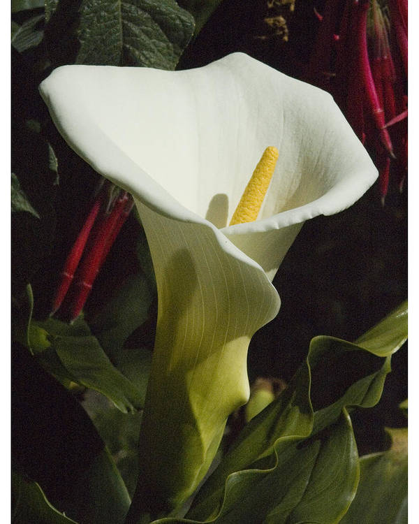 Flower Poster featuring the photograph Calla Lily by Jerry Weinstein