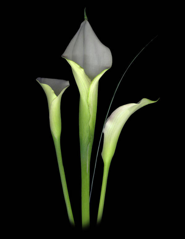 Calla Lilys Poster featuring the digital art Calla by Sandi F Hutchins