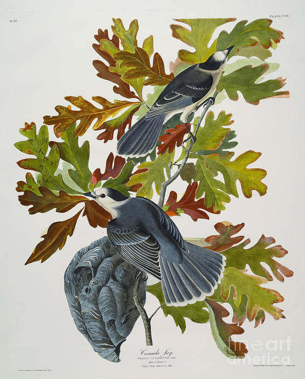 Canada Jay (corvus Canadensis) Plate Cvii From 'the Birds Of America' (aquatint & Engraving With Hand-colouring) By John James Audubon (1785-1851) Poster featuring the drawing Canada Jay by John James Audubon