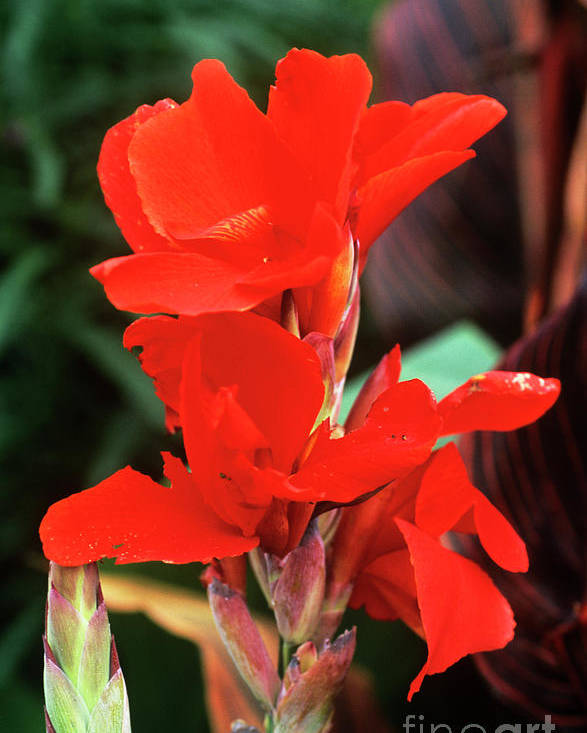 Canna Poster featuring the photograph Canna Lily 'lucifer' by Adrian Thomas