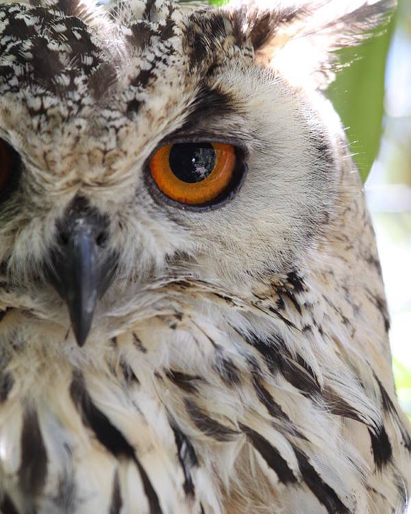 Cape Eagle-owl Poster featuring the photograph Cape Eagle-owl by Shelly OBrien