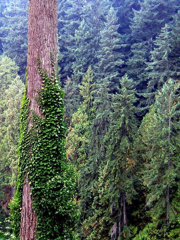Capilano Canyon Poster featuring the photograph Capilano Canyon Ivy by Will Borden