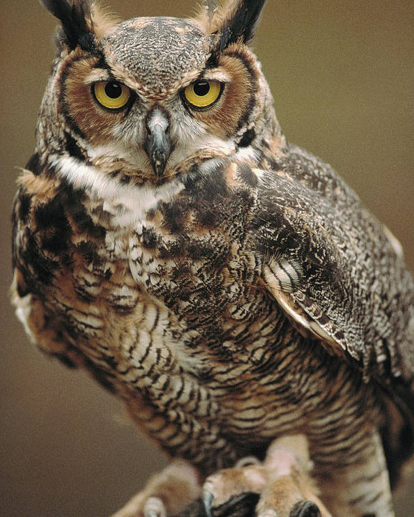 Indoors Poster featuring the photograph Captive Great Horned Owl, Bubo by Raymond Gehman