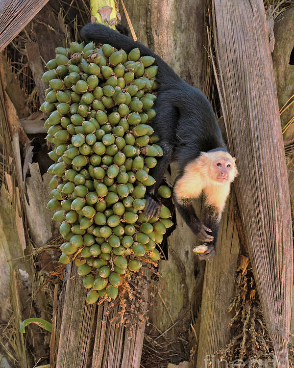 Capuchin Monkey Poster featuring the photograph Capuchin Monkey Lunch by Natural Focal Point Photography