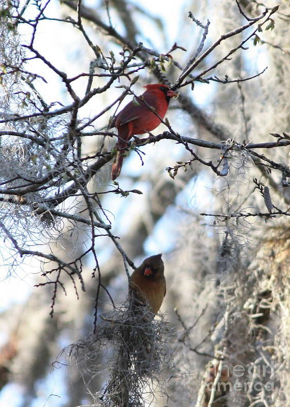 Wildlife Poster featuring the photograph Cardinals In Mossy Tree by Carol Groenen
