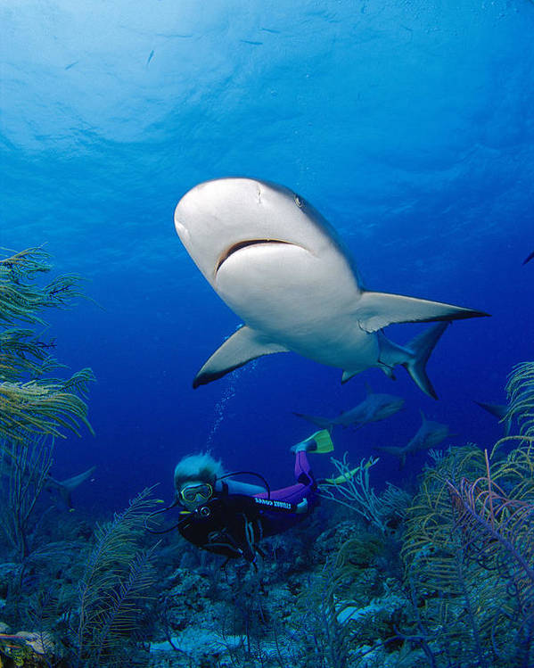 Adrenaline Poster featuring the photograph Caribbean Reef Shark by Dave Fleetham - Printscapes