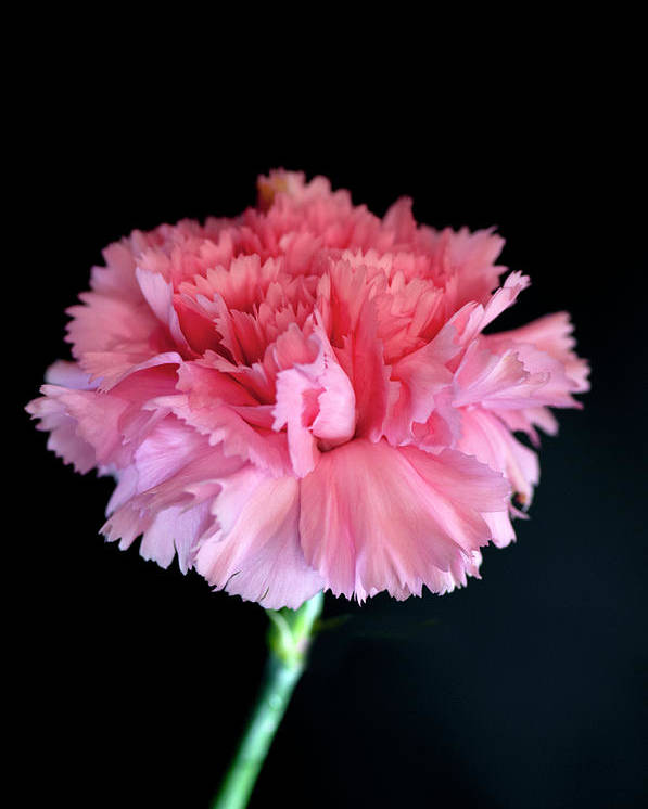 Flower Photograph Poster featuring the photograph Carnation by David Hollingworth
