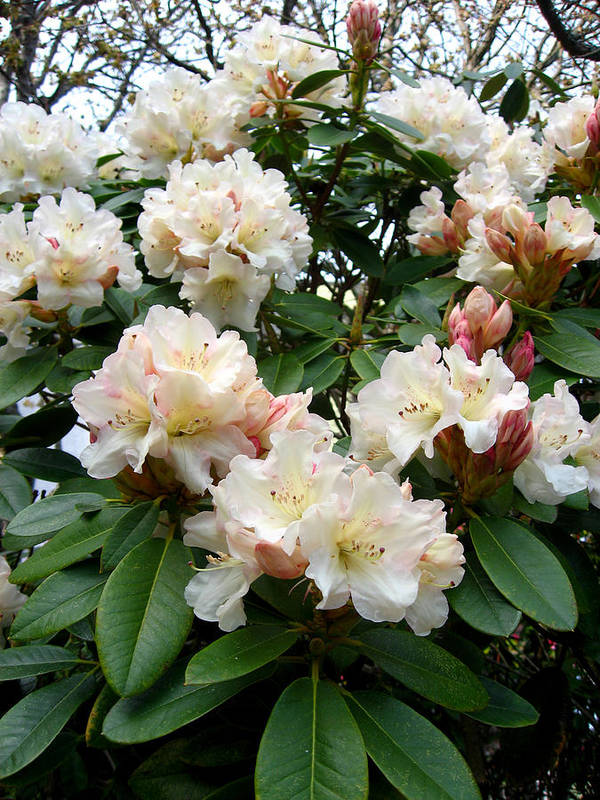 Rhododendrons Poster featuring the photograph Cascade by Aliza Souleyeva-Alexander