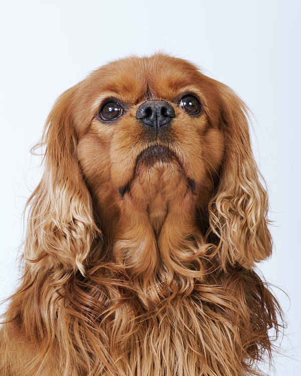 Vertical Poster featuring the photograph Cavalier King Charles Spaniel Looking Up, Studio Shot by Martin Harvey