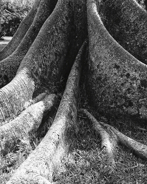 Abstract Poster featuring the photograph Ceiba Root by George Oze