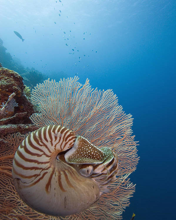 Animal Art Poster featuring the photograph Chambered Nautilus by Dave Fleetham - Printscapes