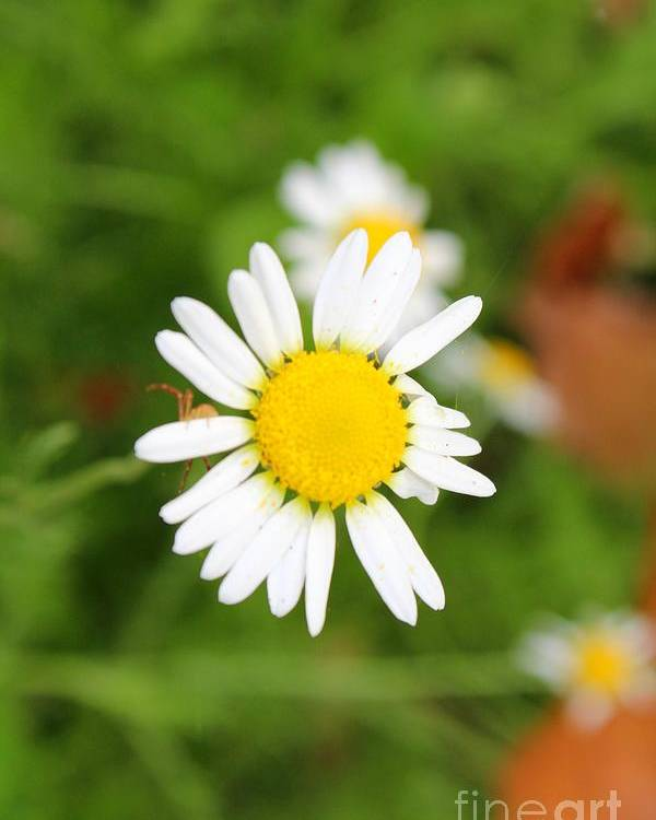 Chamomile Poster featuring the photograph Chamomile by Stephanie Kripa